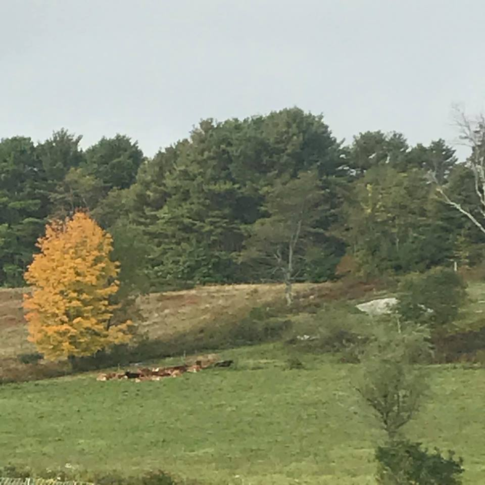 Cows at pasture at the Morris Farm in Wiscasset